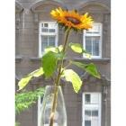 0507-sonnenblume