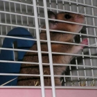 0512-fridolin-der-goldhamster