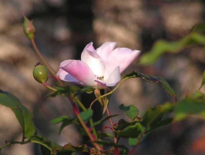0612-rose-im-dezember