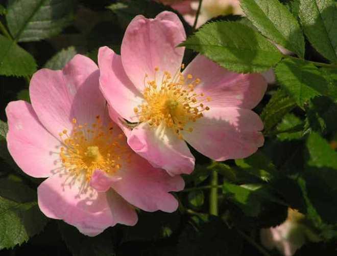 0705-z10-rosa-rosen-im-rosarium-04