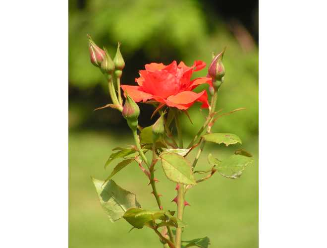 0705-z10-rote-rose-im-rosarium-01