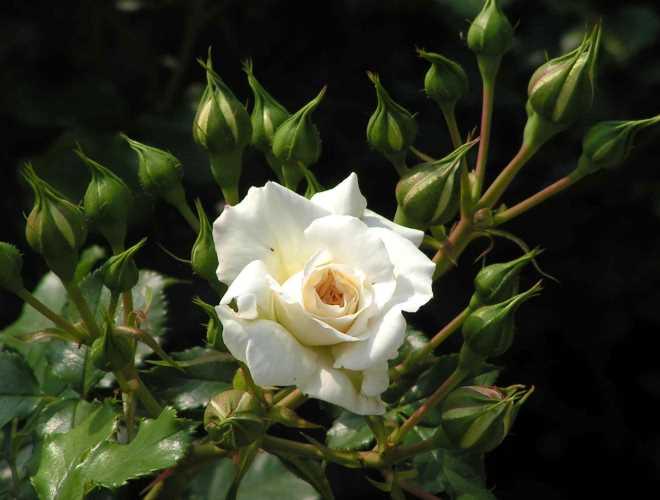 0705-z10-weisse-rose-im-rosarium-04