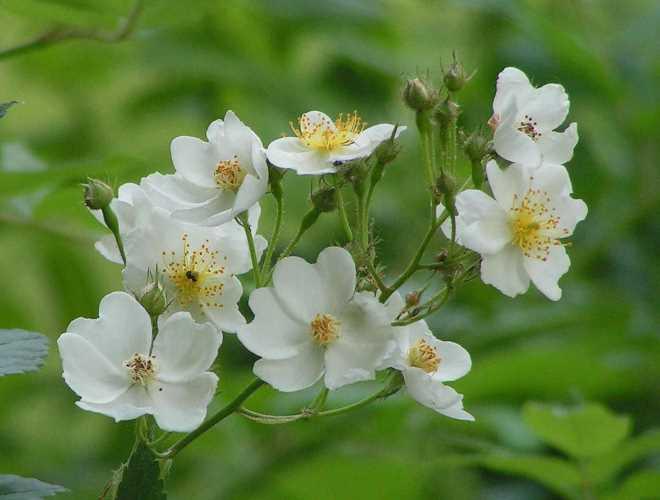 0705-z10-weisse-rosen-im-rosarium-08