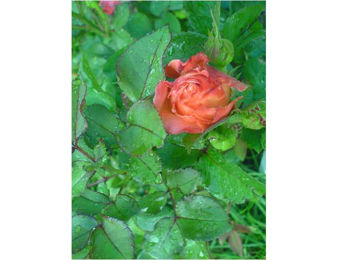 0706-nasse-rose