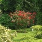 0705-rosen-busch