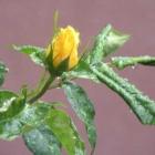 0705-z10-gelbe-rose-vorm-haus-2