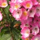 0705-z10-rosa-rose-mit-biene-2