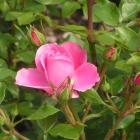 0705-z10-rosa-rosen-im-rosarium-09