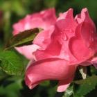 0709-nasse-rose