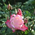 0709-rose