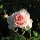 0707-04-nasse-rose