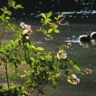 0710-rosen-teich