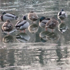 0711-09-enten-am-eis1