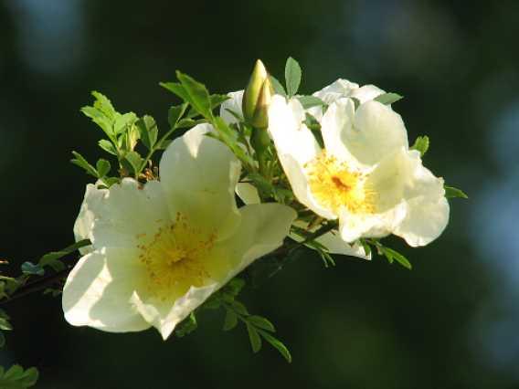 0804-4-afghanische-rose-2