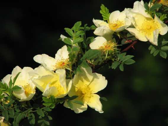 0804-4-afghanische-rose-3
