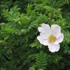 0805-3-buschrose