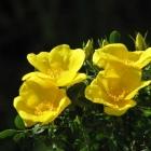0805-3-gelbe-rosen-1