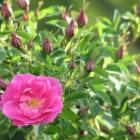 0805-3-pink-rosen