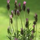 0806-4-lavendel-auf-loggia2