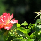 0808-5-rose-hagebutte
