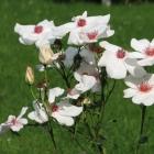 0808-5-rose-weiss