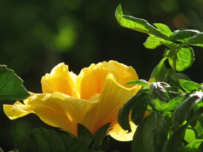 090609-hibiscus