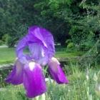 090509-schertlilie