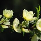 090424-erste-rosen